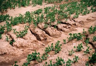 Obr. 02 Zhutnění ornice vlivem plošné vodní eroze