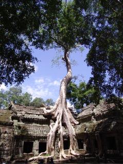 Obr. 08 Ceiba vyrůstající z chrámové konstrukce, chrám Ta Prohm (zdroj: archiv autora)